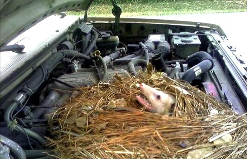 перебит или перегрызен провод в двигателе и автомобль не может завестись