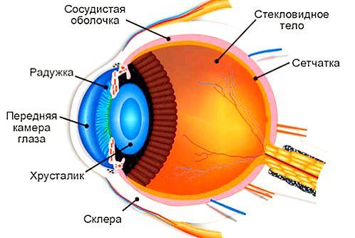 как видит дорогу водитель или строение глаза человека
